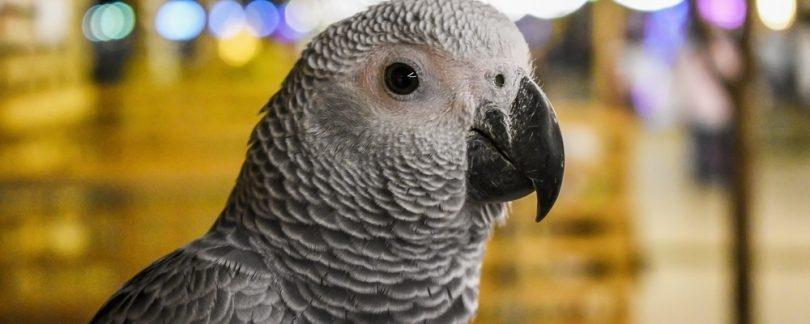 How Safe is Your Pet Bird